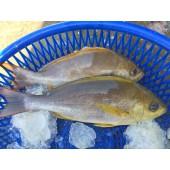 野生黃雞魚6-8隻