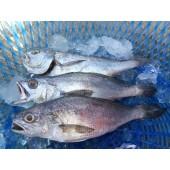 野生黑喉魚(限量)