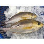 野生 黃雞魚