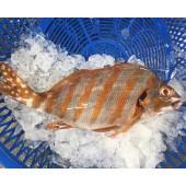 野生石雞魚