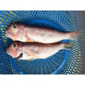 野生 馬頭魚